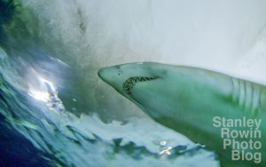 Underwater photo of live shark